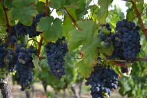 La totalité de notre vignoble compte environ 25 000 ceps dont certains sont âgés de 60 ans