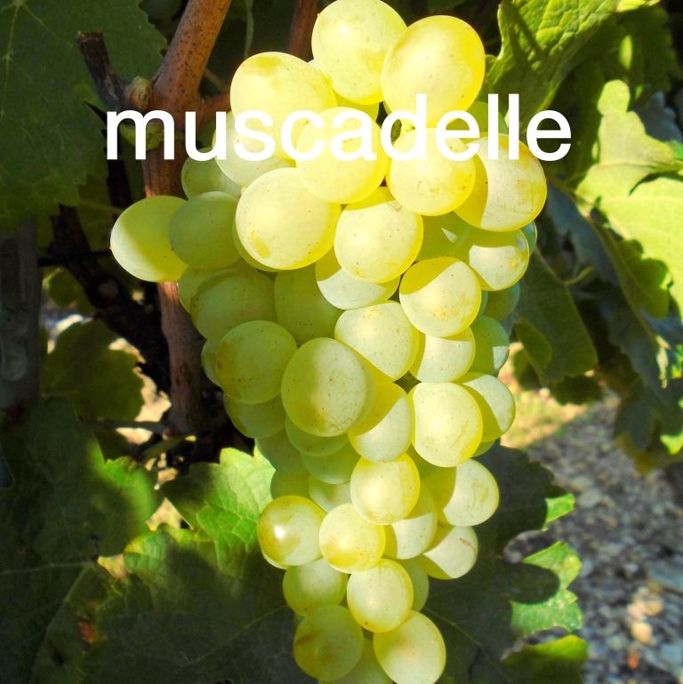 Muscadelle cépage Gaillac